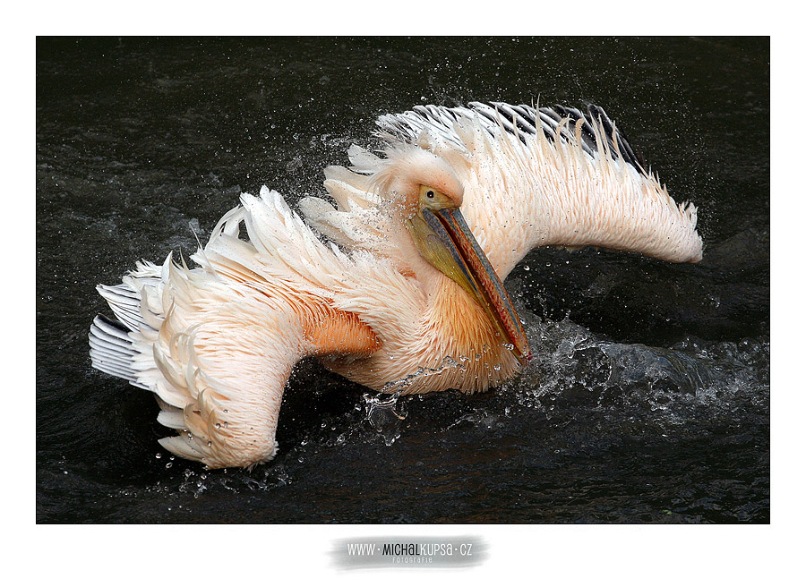 Pelikán bílý (Pelecanus onocrotalus)
