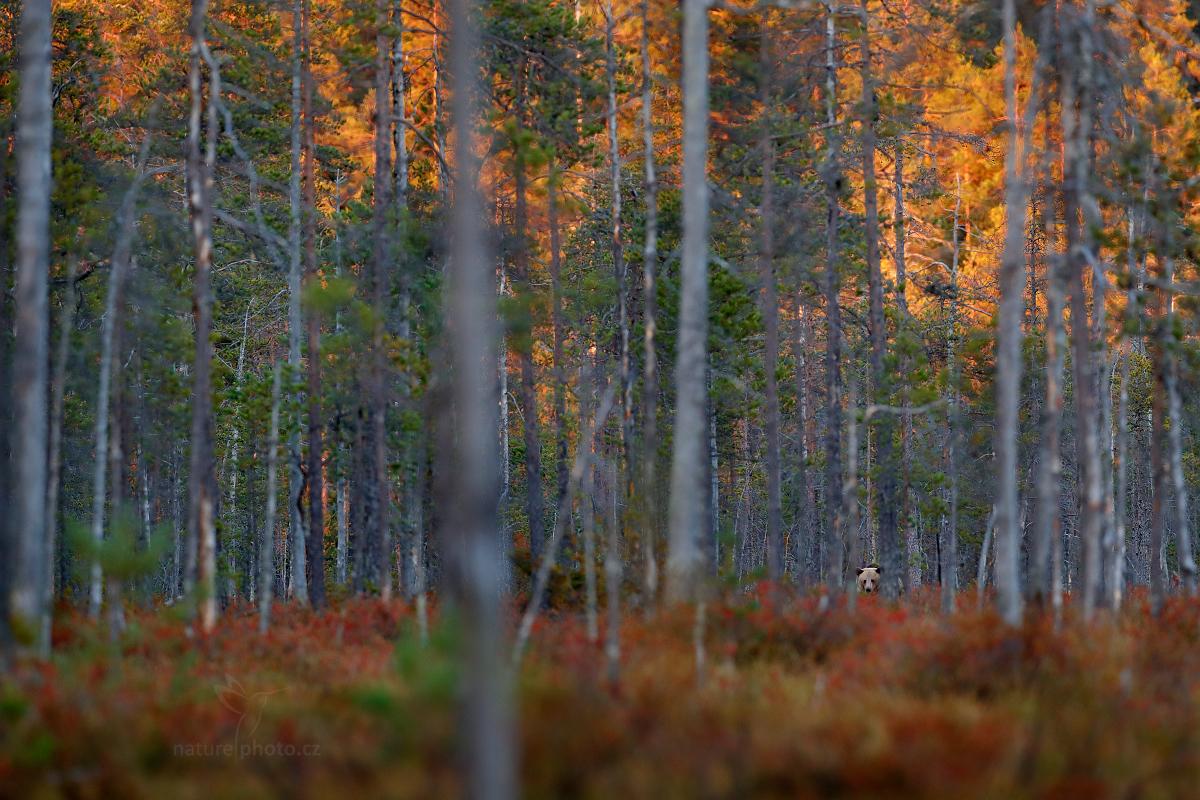 Medvěd hnědý, podzimní imprese